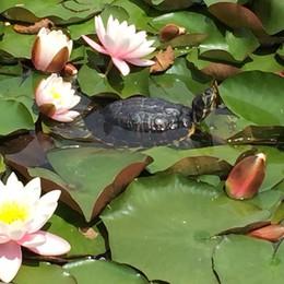 Sondrio, pesci e tartarughe al parco Bartesaghi: Enpa invoca un piano di aiuto
