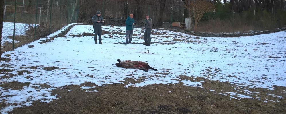 Strage di pecore a Categno: «È colpa dei cani liberi»