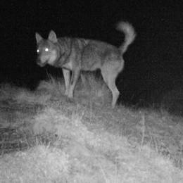 Trovato un lupo morto sulle Orobie  Diverse le ipotesi, compresa l'uccisione