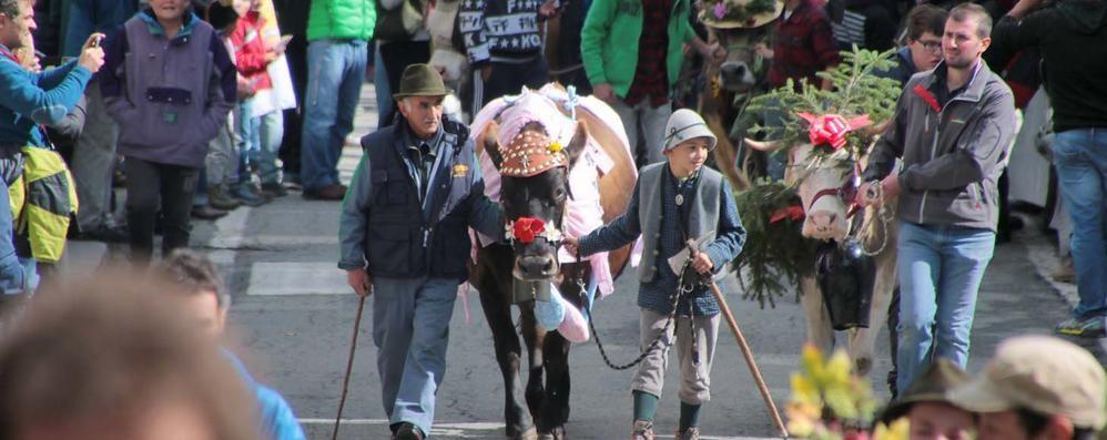 Parata delle mucche dimezzata a Chiareggio