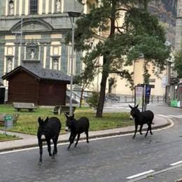 Grosio, passeggiata mattutina per tre asini in centro paese
