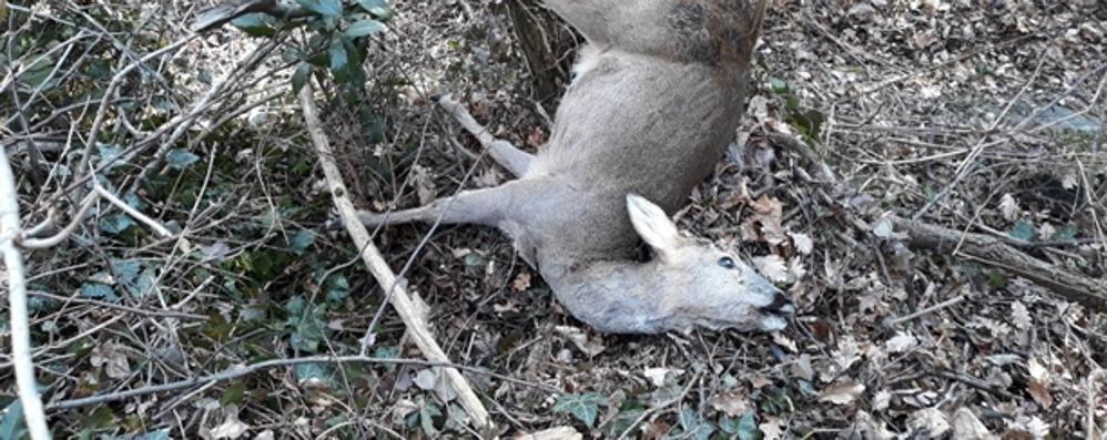 Ungulati uccisi dai cani. Scatta la multa