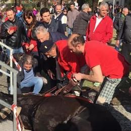 Il cavallo cade e scoppia la polemica a Tirano
