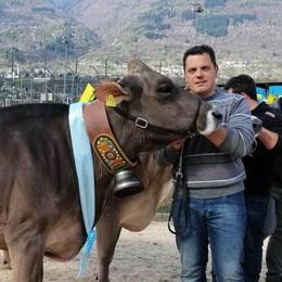 Le mucche sfilano nei prati di Colorina: orgoglio e tanti premi