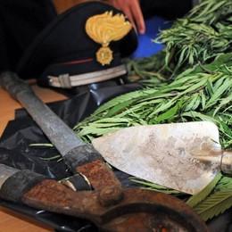 Marijuana e cannabis nel fienile  Sequestrati 60 kg a Sernio