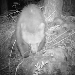 Il drone lo cerca (e non lo trova)  intanto l'orso fa razzia