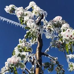 «Effetto gelo,  nei meleti danni rilevanti»
