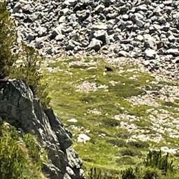 L'orso di Varadega  «Non è monitorato  ma è molto schivo»