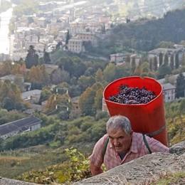 Vendemmia in Valtellina  «Quantità -15% ma uve ottime»