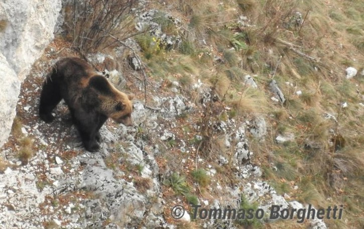 Un orso si aggira a Biolo  Due avvistamenti